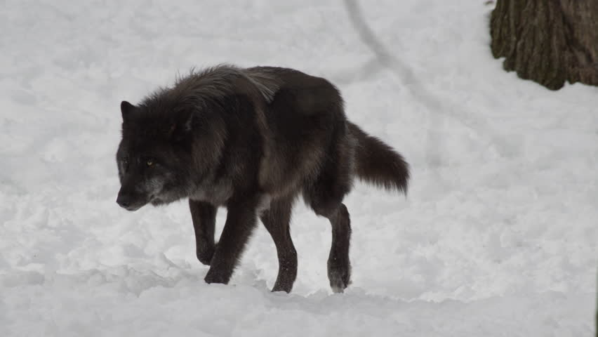 Black wolf stalking in the winter forest