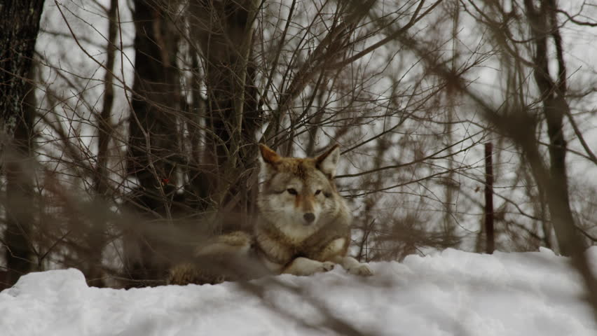 Coyote tilt down to sitting in snow