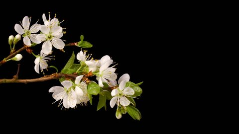 Plum blossom flowering - time lapse.  Room for text
