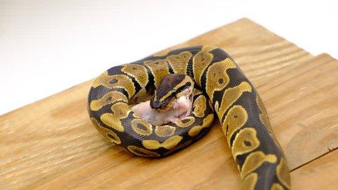 snake eating a mouse.python eats a mouse, close up.feeding snake