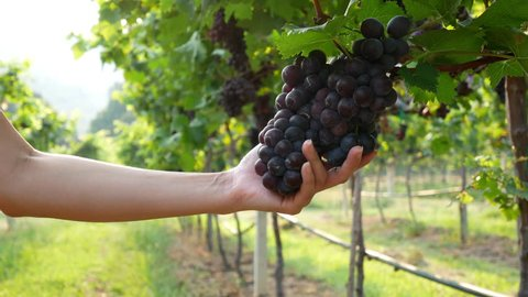 Bunches of Red Grapes Hanging in Vineyard. Rows of pinot noir grapes ready to be picked in vineyard at sunrise, wine grapes, ripening in a vineyard.