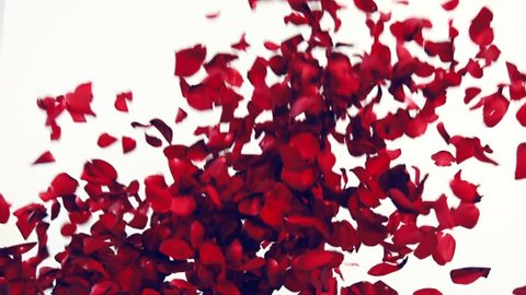 Red rose petals are thrown up a huge heap. Falling rose petals. Explosion of red flowers of real flowers. Valentine's Day. Congratulation. Red petals on a white background in the studio.
