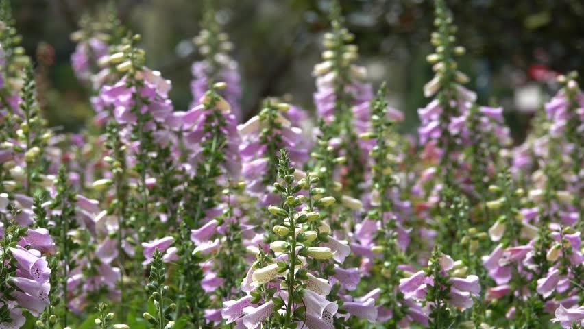 Digitalis purpurea flower. Royalty high quality free stock footage of beautiful Digitalis purpurea flower in a garden. Digitalis purpurea flower is very beautiful
