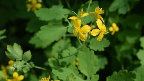 Chelidonium majus. Yellow flower of greater celandine on blurred background in spring.