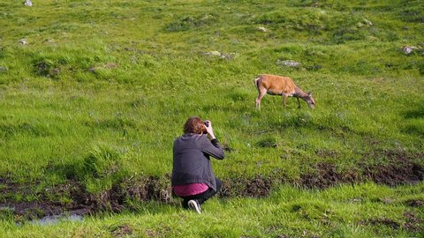 Tourist with a camera taking multiple photos of wildlife. Young female red deer eating green grass on a sunny summer day in Glencoe, Highland, Scotland. Handheld shot in high frame rate.