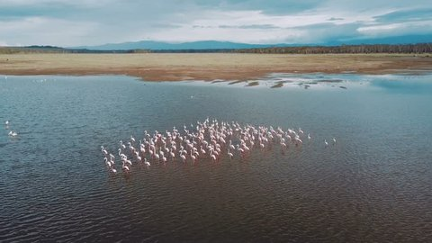 aerial view of flamingo birds on lake Nakuru in Kenya