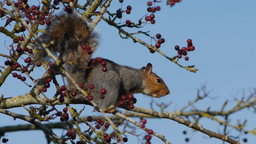 Sciurus carolinensis, or grey squirrel, on a berry bush looking for a tasty morsel. Autumn