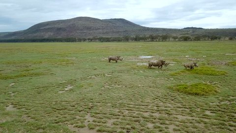 aerial view of wild rhinos in african savanna in Lake Nakuru national park, Kenya