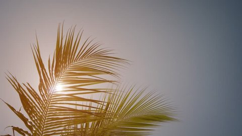 Sun shining through the swaying leaves and fronds of a tropical coconut palm tree in the Maldives.
