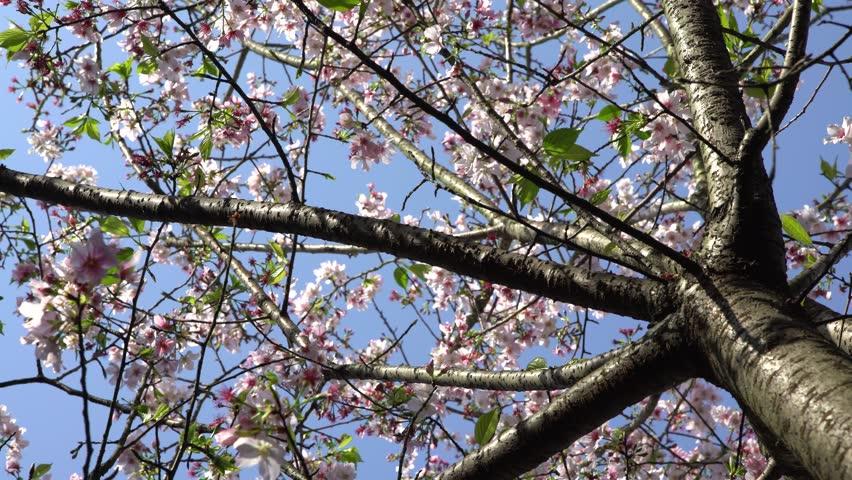 4K Wonderful close-up of flowering cherry branch. Amazing nature scene with beautiful blooming sakura in spring.-Dan   Shutterstock HD Video #1009252949