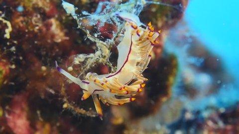 nudi branch underwater nudibranch flabellina