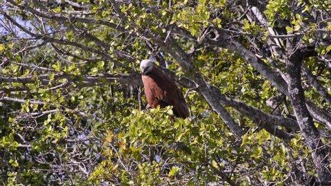 Black-collared Hawk (Busarellus nigricollis) perched on a tree. Image in the Pantanal Biome. Mato Grosso do Sul state, Central-Western - Brazil.