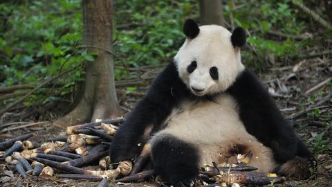 Slow motion of Giant Panda Bear Eating Bamboo Shoots in the Chengdu Research Base of Giant Panda Breeding