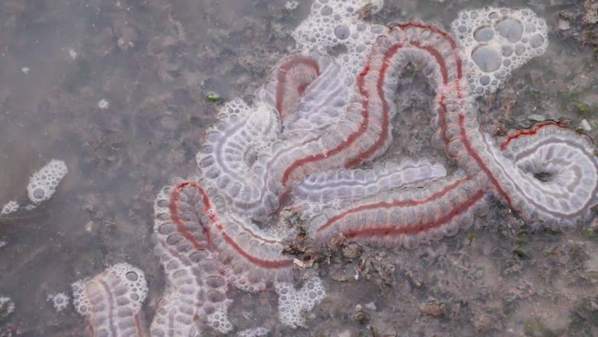 Sea cucumbers are echinoderms from the class Holothuroidea for education in Sea.