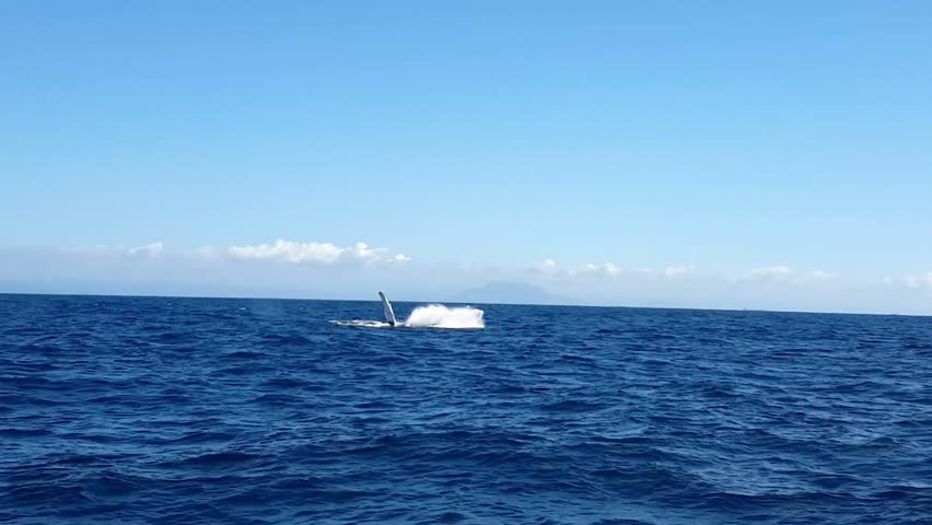 Perfect Humpback Whale jumping (Megaptera novaeangliae) in bay of Vitória, Espírito Santo, Brazil. Blue sky and sea.