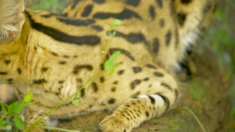 An agitated African serval hisses and shows its fangs