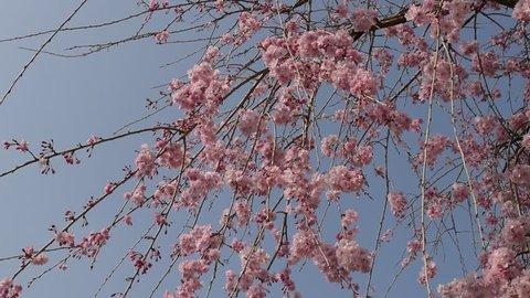 Beautiful cherry blossom flowers.weeping cherry tree.Sakura flowers.Japan