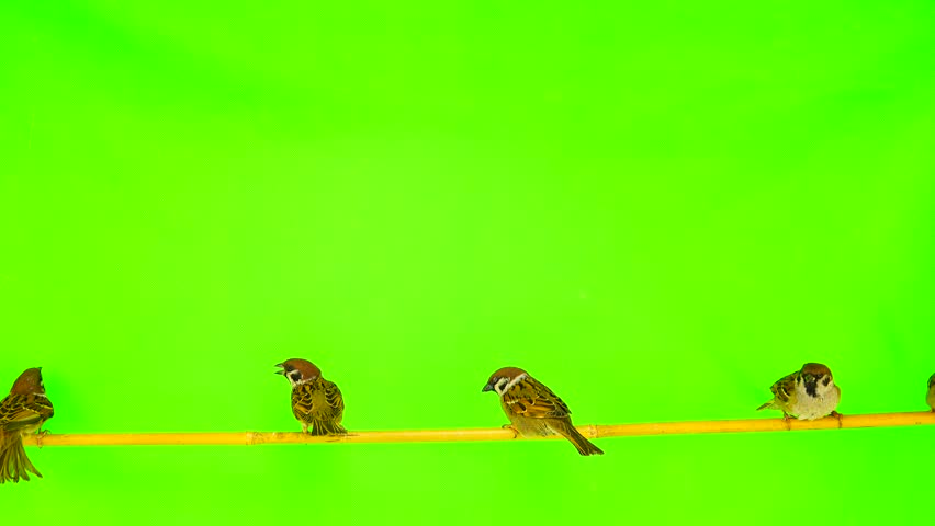 sparrows  (passer) sitting on a branch on a green screen