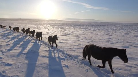 Herd wild horses run lined along snowfield field snow leader Freedom pasture animal Warm Cinematic orange sunset. Winter frost cold. Buryatia Mongolia Russia. Happiness power. Blue sky. Aerial Follow