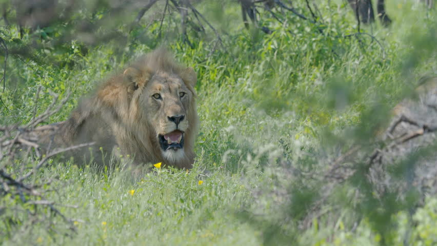 Lion resting in grass in Namibia Africa
