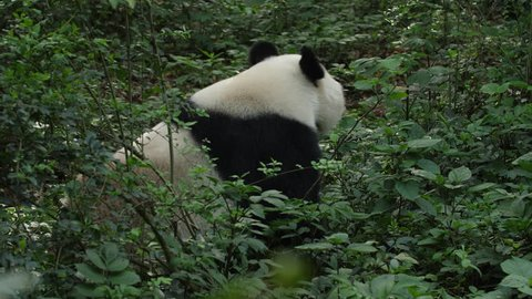 One Giant Panda Bear Walking in the wild woods