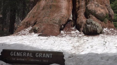 The famous General Grant sequoia tree, which is estimated to be 1650 - 2000 years old and located in Kings Canyon National Park in California, is shown in a tilt-up view.