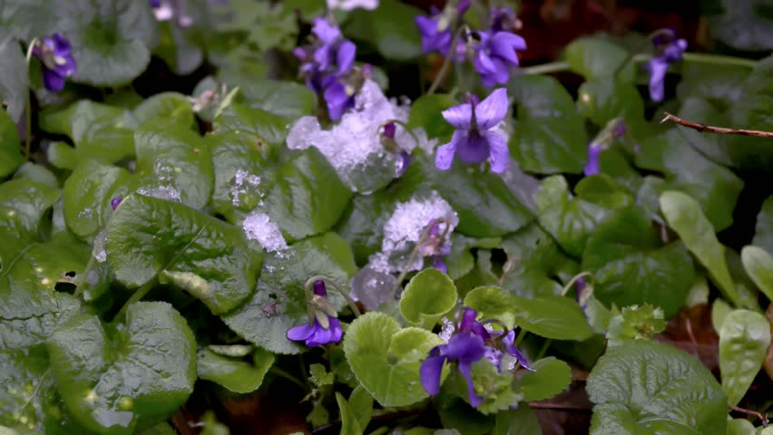 Timelapse of melting snow on purple bells flowers campanula.