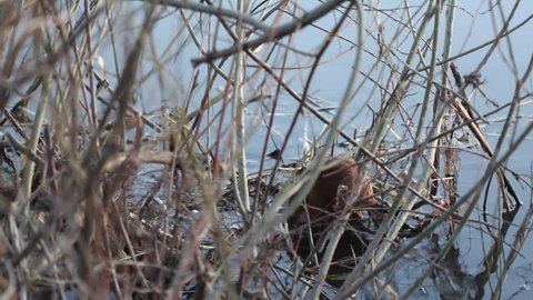 Two muskrat at the bush of vine. Muskrat refers to rodents. It lives in freshwater reservoirs. The plot is shot in the evening.