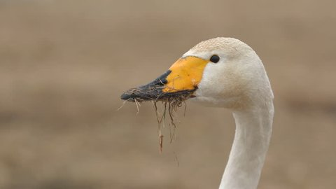 detailed view whooper swan bird animal grass in beak watching alerted super slow motion