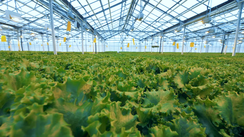 Vast lettuce plantations inside a hothouse. Industrial vegetable production: modern eco-production with drip irrigation