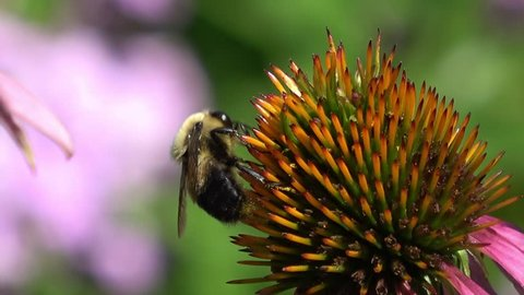 Bee drinking nectar from cone flower