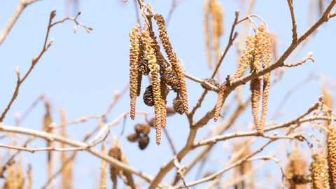 Earrings on a tree alder.