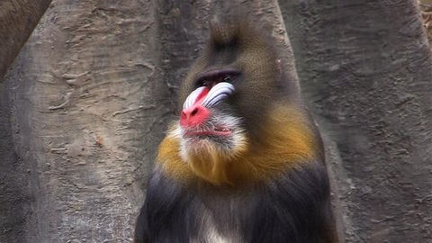 Male Mandrill (Mandrillus sphinx) is a colorful monkey
