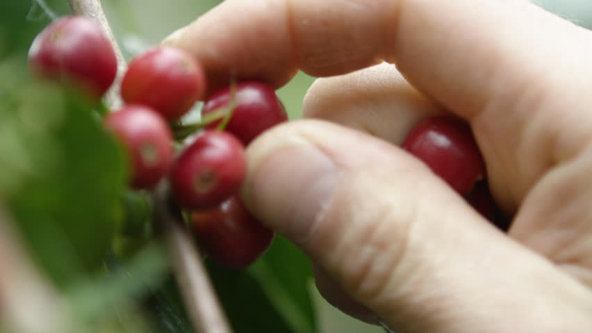 Close up of picking coffee cherries in Shakiso Ethiopia, Africa