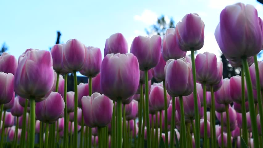 Bright pink tulips flowers and sky. Beautiful spring time footage.  | Shutterstock HD Video #1009839239