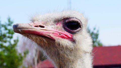 adult ostrich's head close-up.