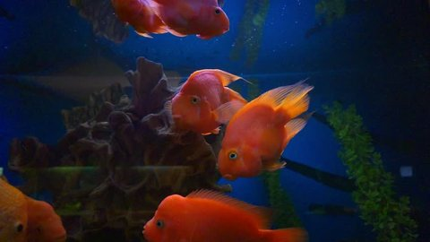 blood parrot cichlid or parrot cichlid, big beautiful red fish in the water.