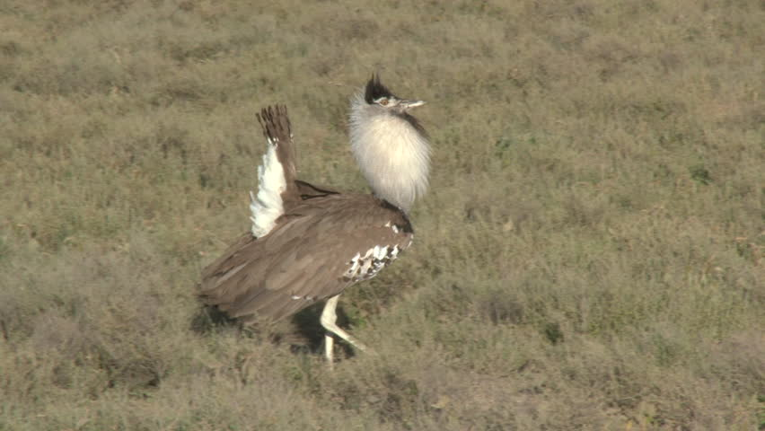 Kori Bustard (Ardeotis kori) walking around on the Serengeti plains.