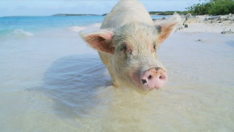 Commonwealth pig on Big Major Cay in the sunshine paddling on remote tropical beach island a tourist attraction in the Bahamas Caribbean