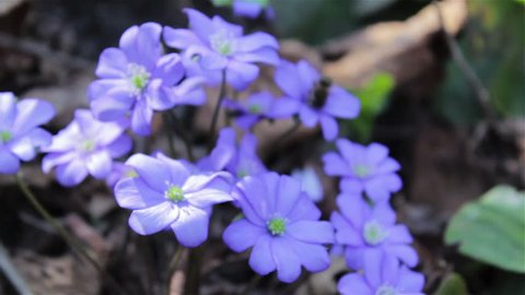 Hepatica nobilis, spring flowers are blue in the forest of Hepatica nobilis