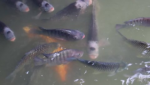 Tilapia fish swimming in water