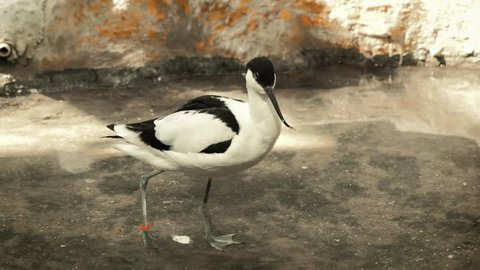 black and white avocet frolicking in the pond