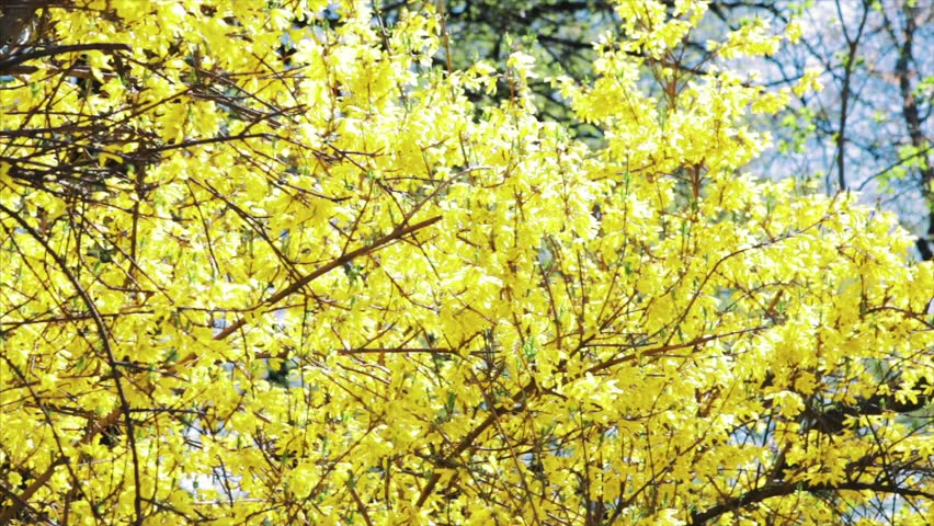Bushes Blossomed Yellow Flowers Sunny Stock Footage Video 100