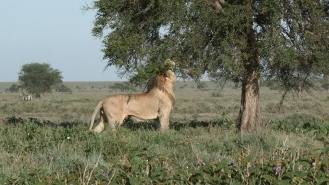 Lion (Panthera leo) male  scentmarking on a tree, in Ngorongoro Conservation Area