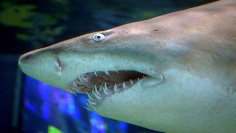 Shark Tiger Shark Teeth Slow Motion Close Up Sea Water Predator Underwater Ocean