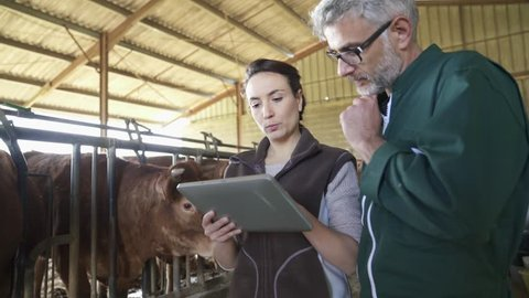 Farmer with veterinary in cow shed connected with digital tablet
