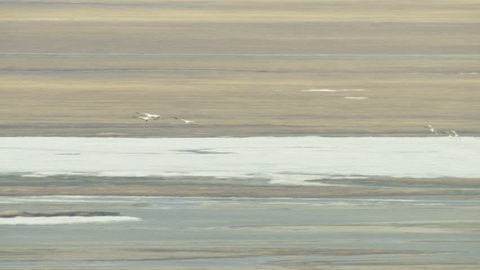 Aerial view of flying snow geese in snow and ice wetland tundra a Wilderness development region above the Alaska America