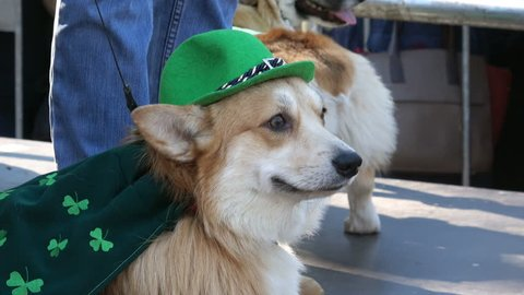 4K video of celebration of St. Patrick day in Moscow. Corgi dog dresed in green color clothes and hat