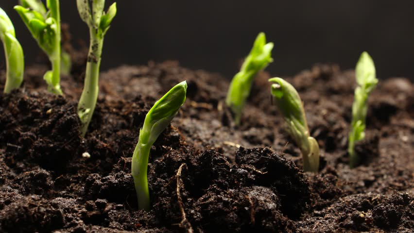 Time lapse of vegetable seeds growing or sprouting from the ground | Shutterstock HD Video #1010094599