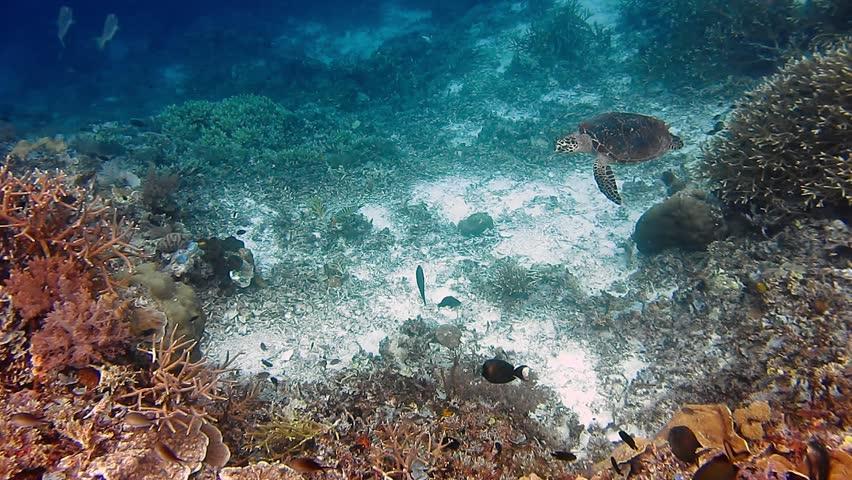 Sea Turtle swimming over coral reef. Hawksbill Turtle | Shutterstock HD Video #1010121959